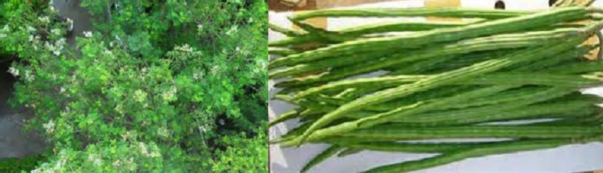 Health Benefits of Drumstick-Cure Disease