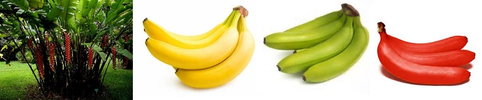 Treatment and Health Benefits of Banana Invented by Indians