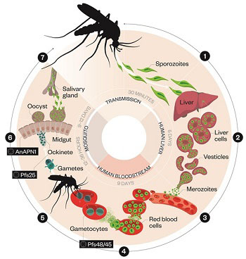 Malaria Symptoms Causes and Treatment