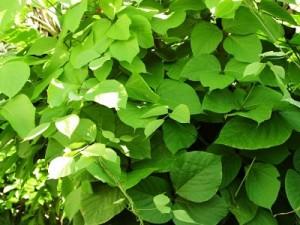 Butea Leaves for Diabetes