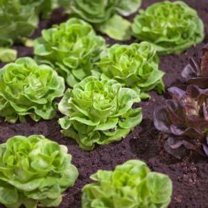Lettuce for Diabetes